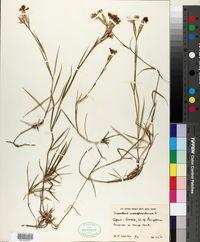Image of Dianthus hyssopifolius