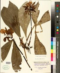 Image of Helleborus caucasicus