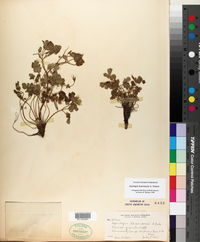 Aquilegia laramiensis image