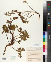 Image of Delphinium antoninum