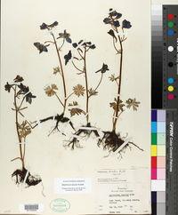 Delphinium bicolor image