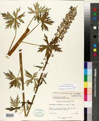 Delphinium × occidentale image