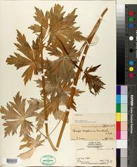 Image of Delphinium cucullatum