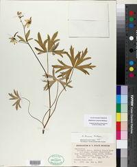 Delphinium tricorne image