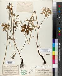 Image of Delphinium subscandens