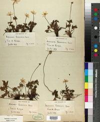 Anemone baldensis image