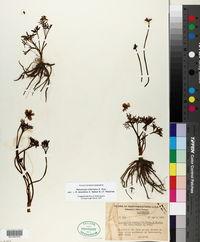 Ranunculus triternatus image