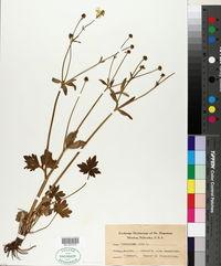 Image of Ranunculus acer