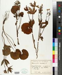 Ranunculus cassubicus image