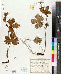 Image of Ranunculus carpaticus