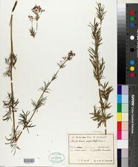 Image of Thalictrum lucidum