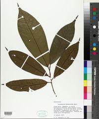 Image of Anaxagorea phaeocarpa