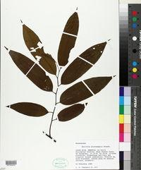 Image of Annona papilionella