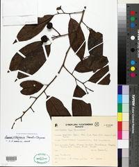 Image of Annona primigenia