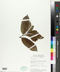 Image of Annona paludosa