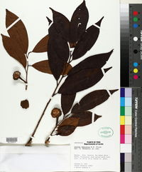 Image of Annona deminuta