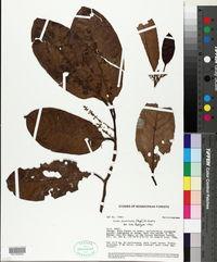 Otoba parvifolia image