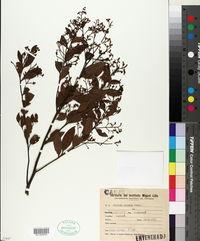 Image of Aiouea amoena
