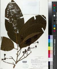 Image of Nectandra lundellii