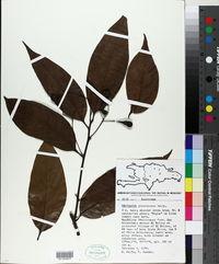 Image of Nectandra glabrescens