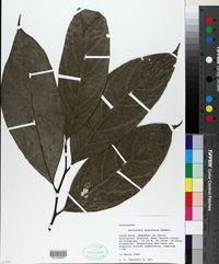 Image of Nectandra hypoleuca