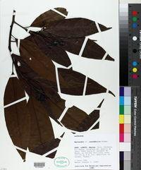 Image of Nectandra inundabilis