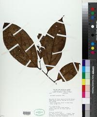 Image of Nectandra pulverulenta