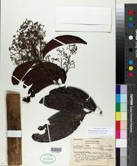 Image of Nectandra purpurea