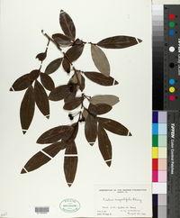 Image of Lindera angustifolia