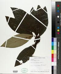 Image of Lindera megaphylla