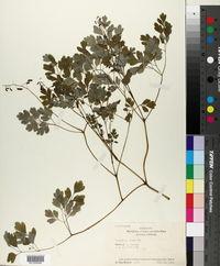 Pseudofumaria lutea image