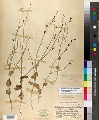 Image of Streptanthus amplexicaulis