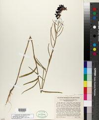 Streptanthus hyacinthoides image