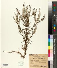Image of Lepidium bonariense