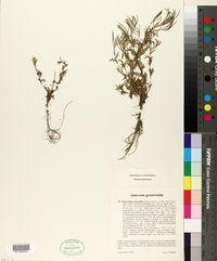 Murbeckiella pinnatifida image