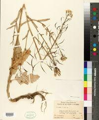Brassica napus image
