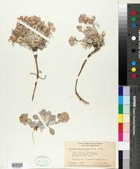 Physaria didymocarpa image