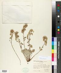Physaria vitulifera image