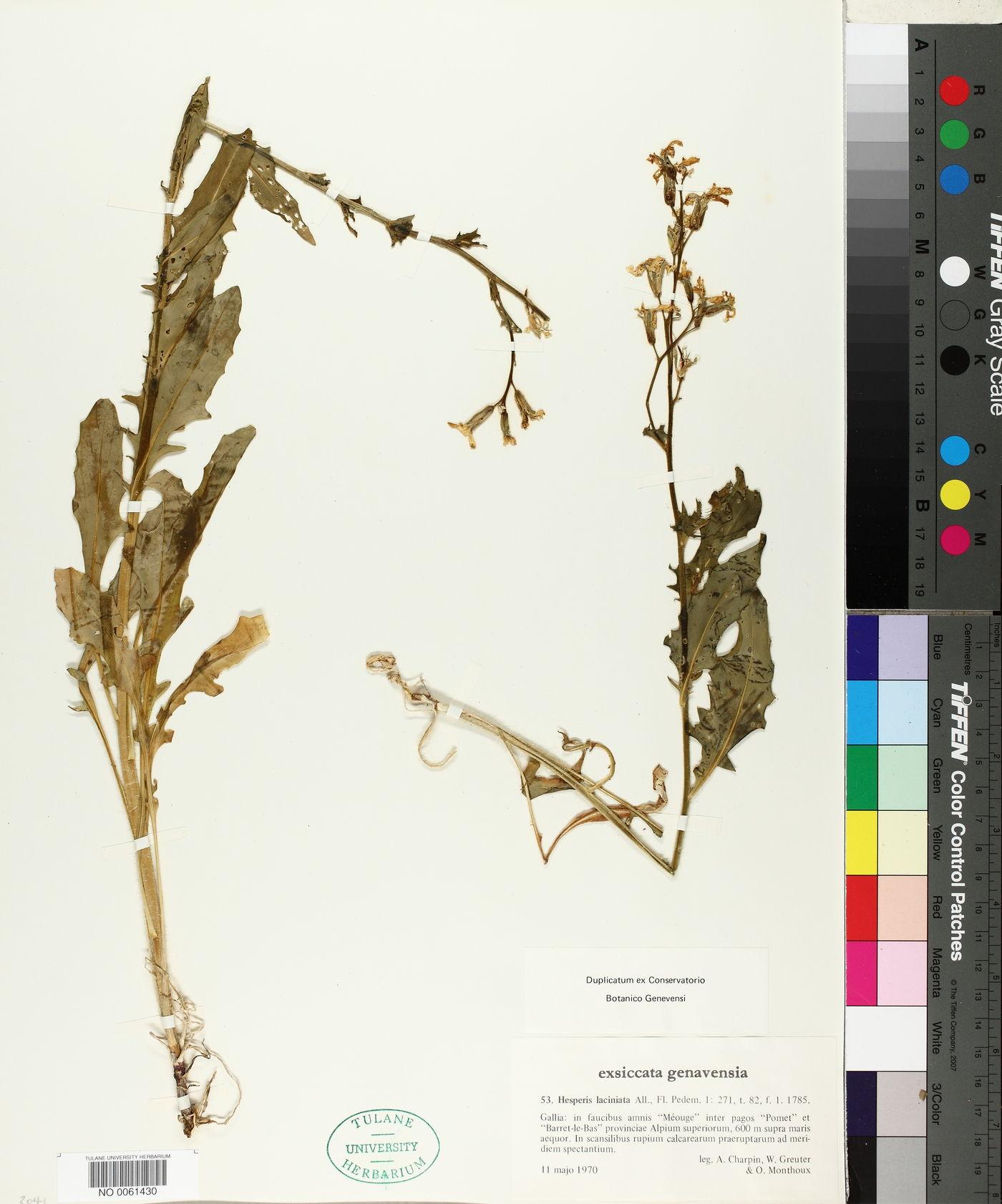 Hesperis laciniata image