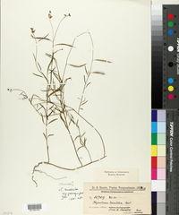 Cleome lanceolata image