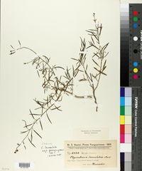 Image of Cleome lanceolata