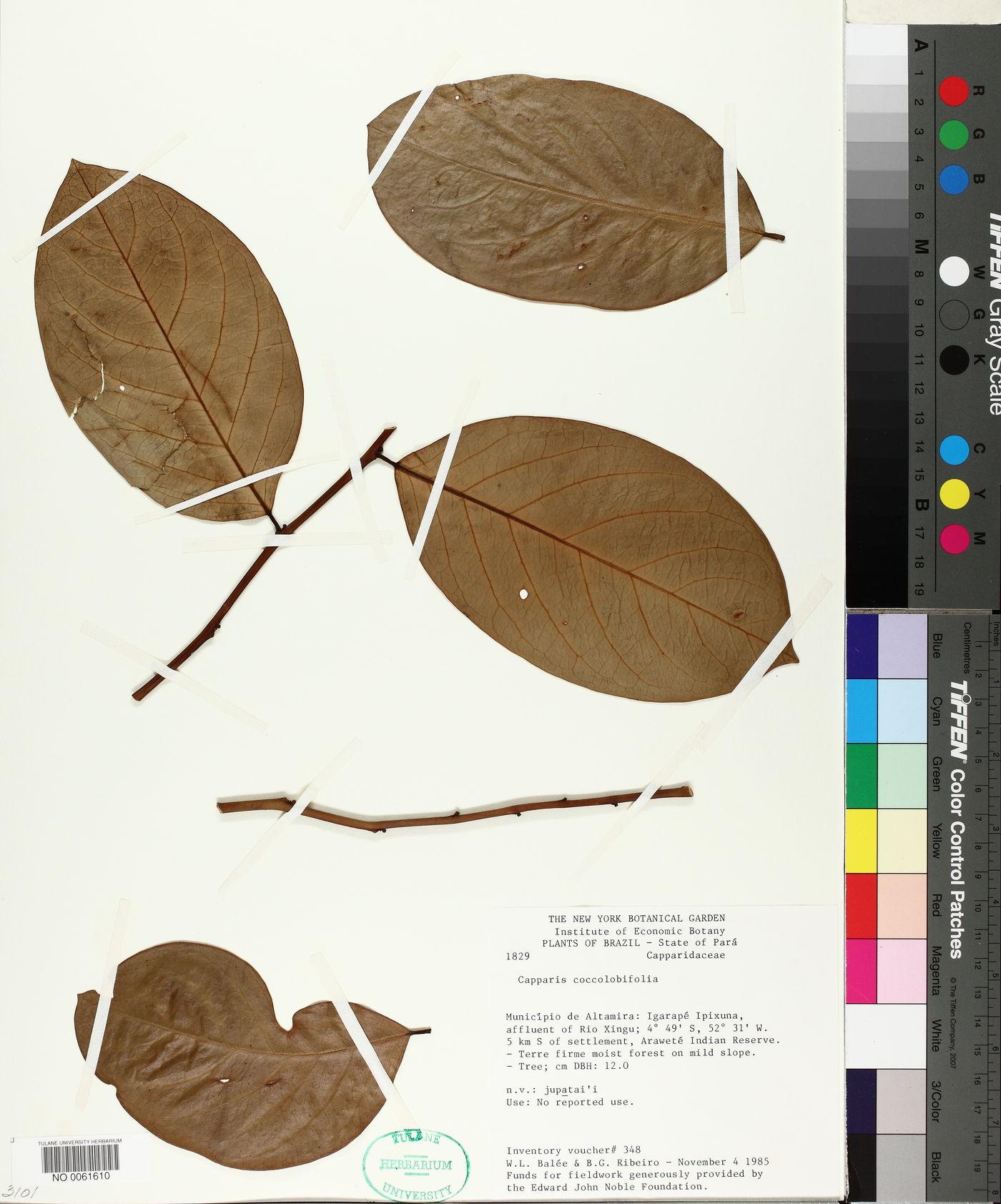 Capparis coccolobifolia image