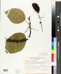 Image of Capparidastrum mollicellum