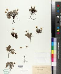 Saxifraga aretioides image