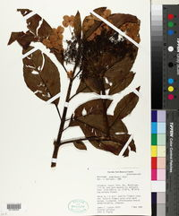 Image of Hydrangea weberbaueri