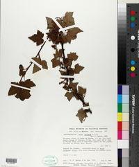 Image of Ribes ciliatum