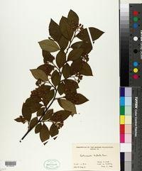 Image of Cotoneaster bullatus