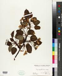 Pyrus pyrifolia image