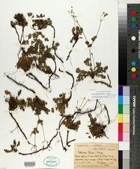 Drymocallis cuneifolia image