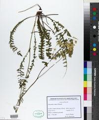 Filipendula vulgaris image